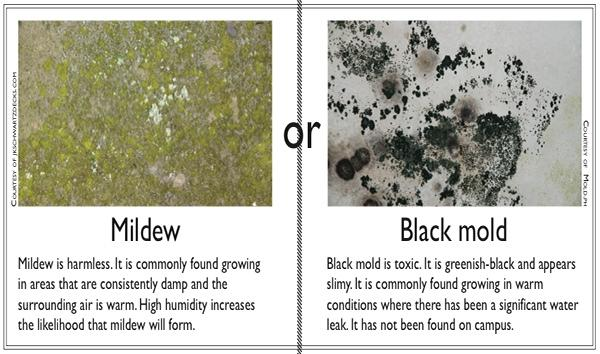 Black Mold Rumors Are Unfounded Dorms Toxin Free