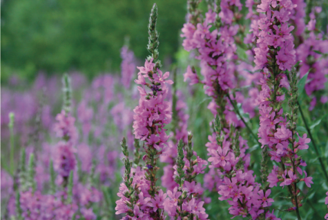 Purple loosestrife often causes its surrounding habitat, where fish and wildlife feed, to be overtaken by a sea of purple flowers. // Photo courtesy of flickr.com
