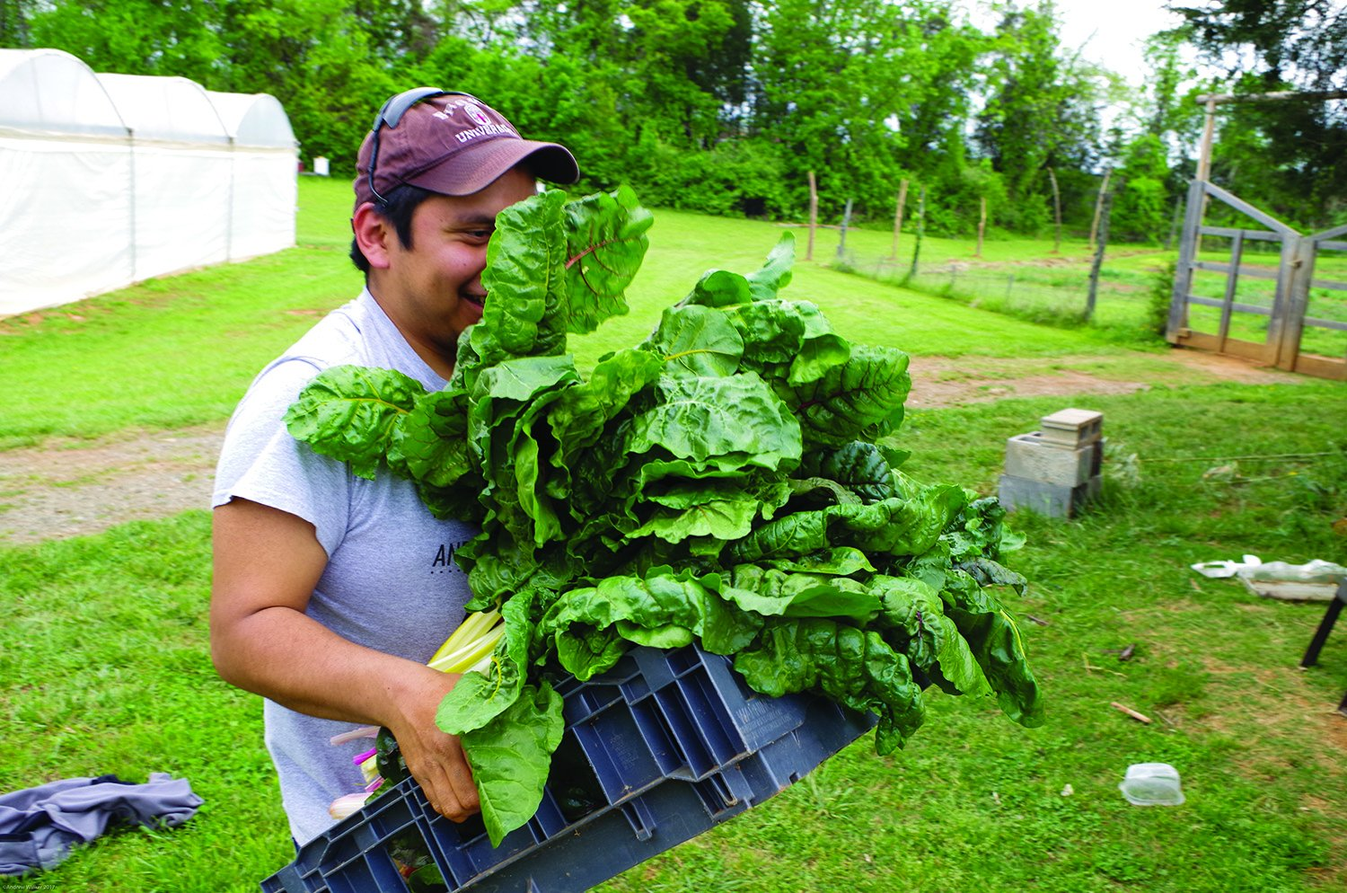 Guilford Collge sophomore Elias Smolcic Larson carries chard to the packing shed on the Guilford farm on April 18,2017. Photo By Andrew Walker 2017