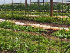 Growing season on Guilford College Farm