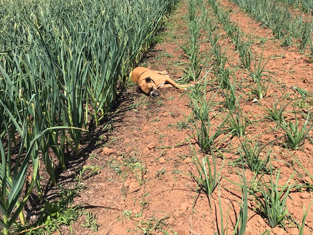 Farm+dog%2C+Polly%2C+basks+in+the+sun+between+rows+of+onions.+