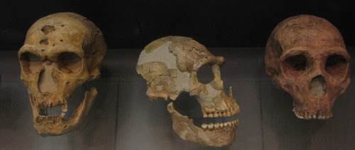 Three Neanderthal skulls are pictured, which depict the bony ridge above the eyes and the elongated skull shape, among other characteristics.